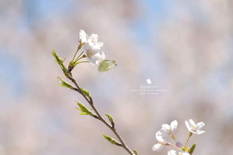 マイフィールドの桜_c0319774_01382334.jpg