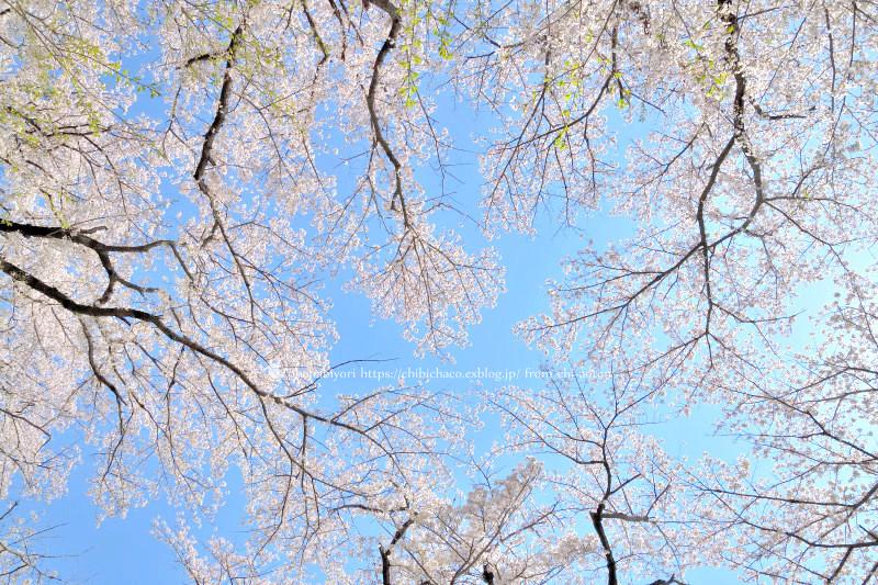 マイフィールドの桜_c0319774_01391610.jpg