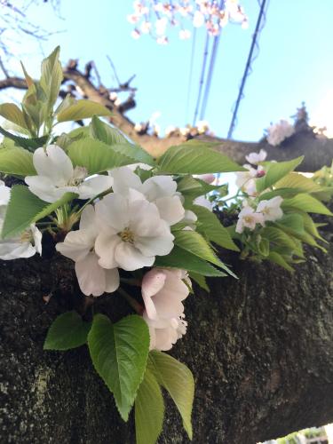 桜休み_e0025376_22350686.jpg