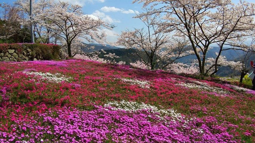 広棚の芝桜(美馬市)_d0043390_22075299.jpg