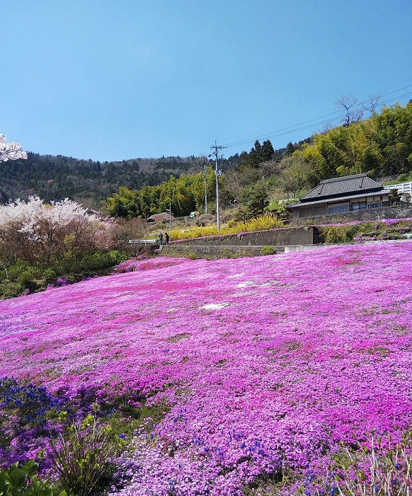 広棚の芝桜(美馬市)_d0043390_22291340.jpg