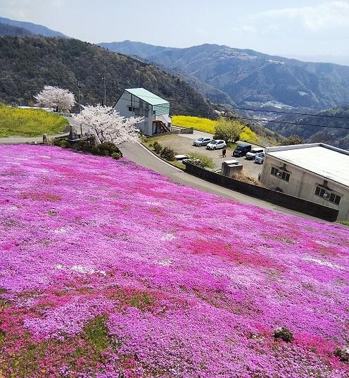 広棚の芝桜(美馬市)_d0043390_22331089.jpg