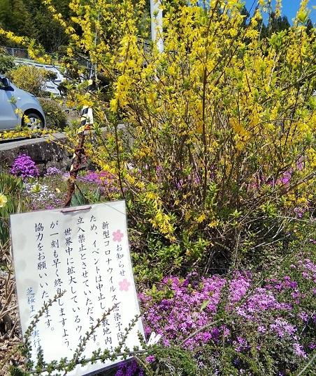 広棚の芝桜(美馬市)_d0043390_22375859.jpg
