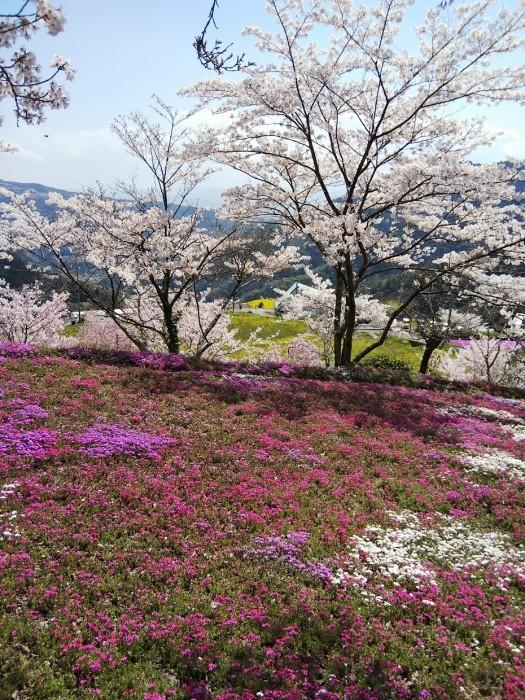 広棚の芝桜(美馬市)_d0043390_23270394.jpg