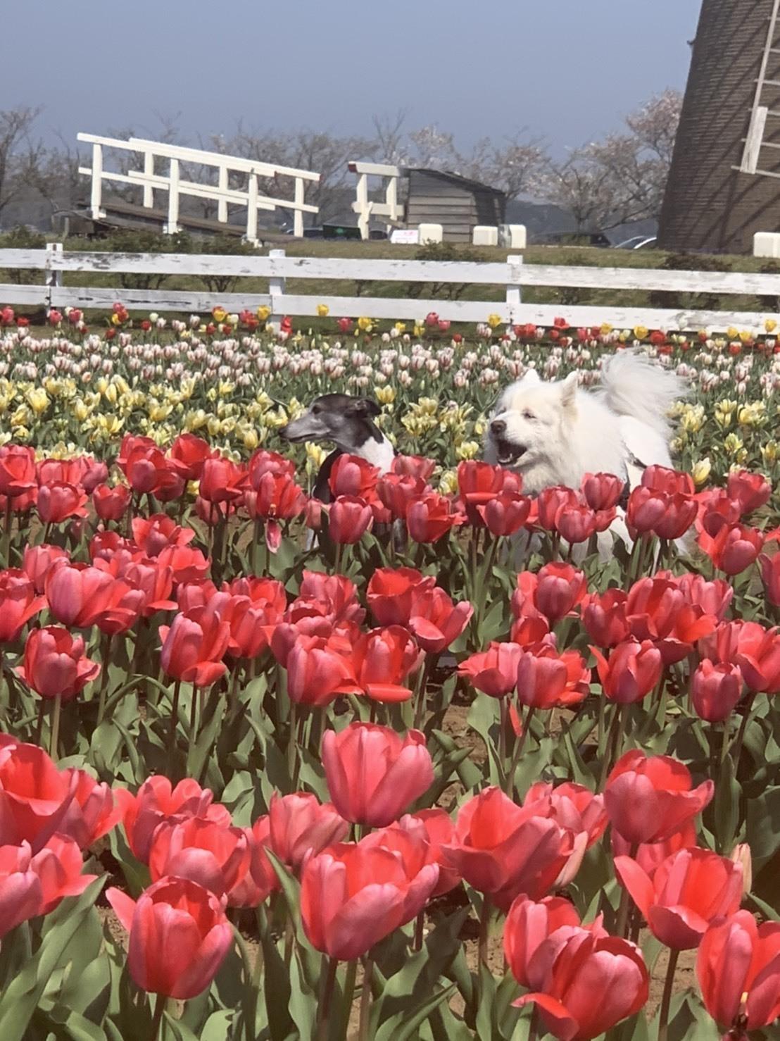 佐倉の桜とチューリップ  4月4日 [土]_e0018604_14414448.jpg