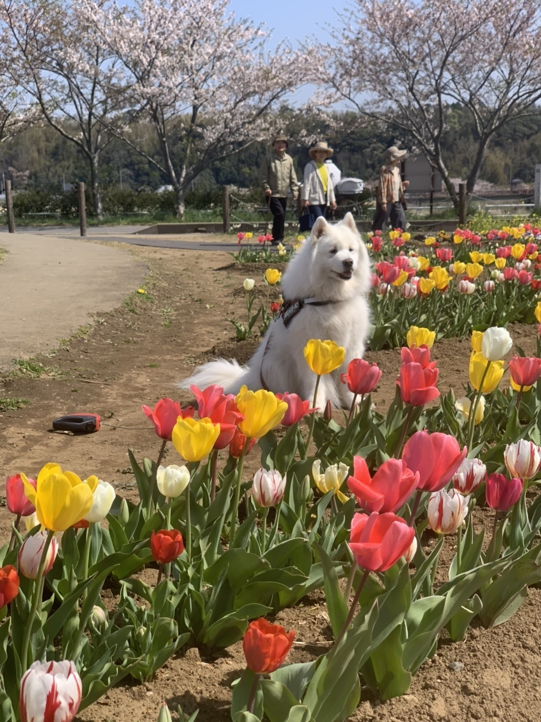 佐倉の桜とチューリップ  4月4日 [土]_e0018604_14424234.jpg