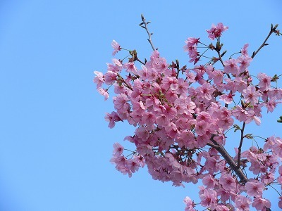桜と苺のサンドイッチ♪_b0143308_20553604.jpg