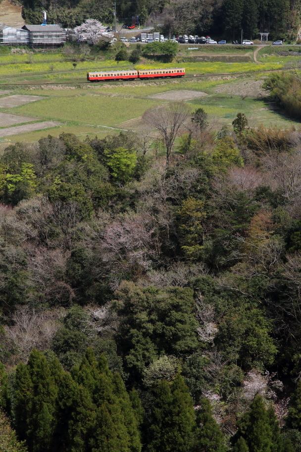 桜と菜の花は終わり近く新緑の季節が始まった - 2020年桜・小湊鉄道 -_b0190710_19353792.jpg