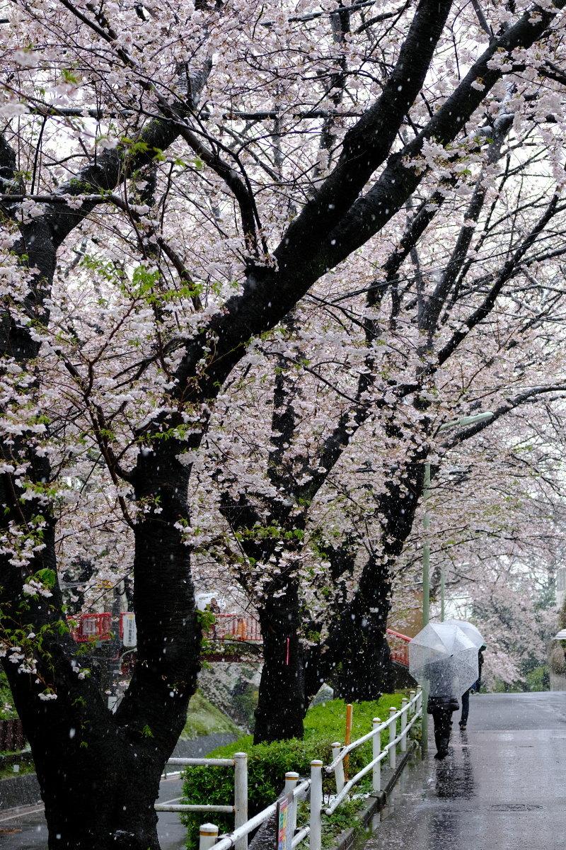 沼部  春雪の桜坂_b0061717_21413546.jpg