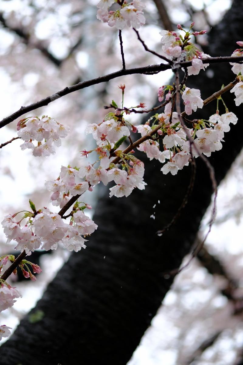 沼部  春雪の桜坂_b0061717_21413597.jpg