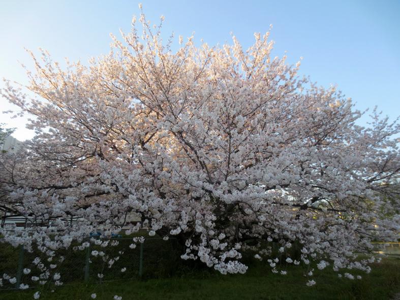 ■柄にもなく桜見物ウォーキング──週替わりの夕暮れ[4/2-5]_d0190217_21463895.jpg