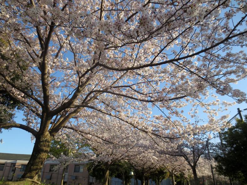 ■柄にもなく桜見物ウォーキング──週替わりの夕暮れ[4/2-5]_d0190217_21493545.jpg