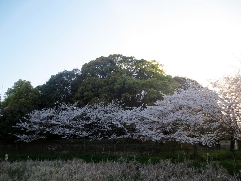 ■柄にもなく桜見物ウォーキング──週替わりの夕暮れ[4/2-5]_d0190217_21495105.jpg