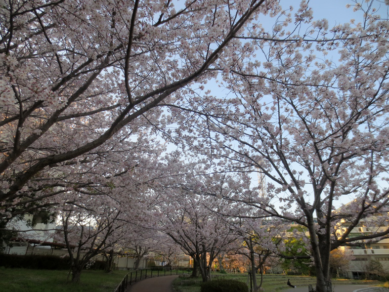 ■柄にもなく桜見物ウォーキング──週替わりの夕暮れ[4/2-5]_d0190217_21545459.jpg