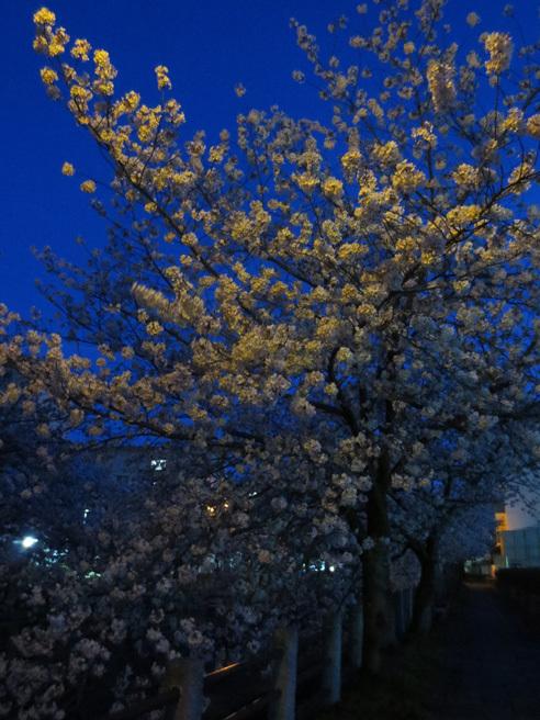 ■柄にもなく桜見物ウォーキング──週替わりの夕暮れ[4/2-5]_d0190217_21561964.jpg