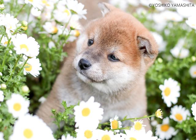 柴犬。。。_f0031022_01400149.jpg