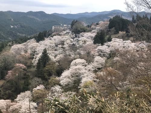 吉野山の桜が完全に見ごろに入ってきました!_e0154524_08484420.jpg