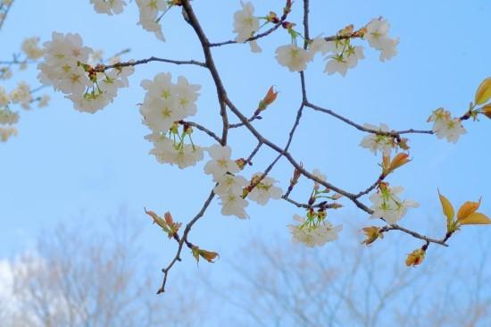 農道の桜満開_d0336530_18100551.jpg