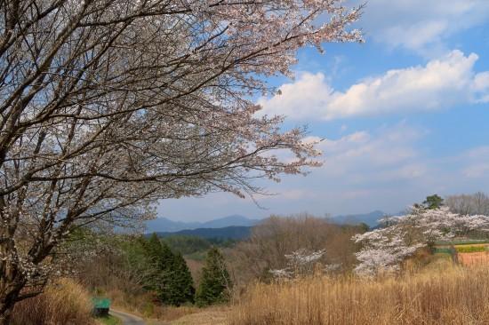 農道の桜満開_d0336530_18110151.jpg