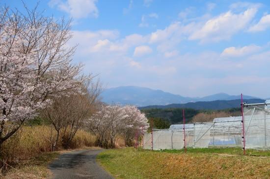 農道の桜満開_d0336530_18110492.jpg