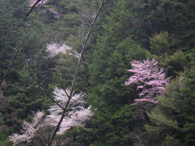満開の山桜と湯の花とバクテリア・オマケはマンガン鉱石【奈良・奥入之波】3/28_d0387443_09141824.jpg