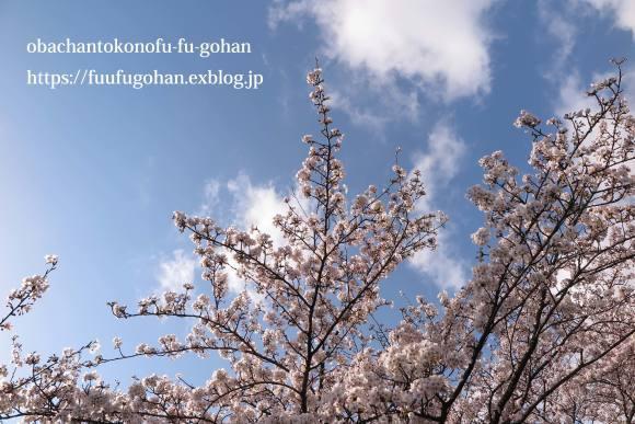 桜は、美しく咲き誇っています&昨夜の鴨鍋御膳_c0326245_10514022.jpg