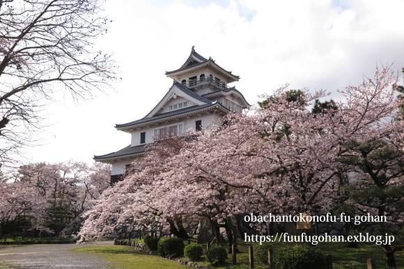 桜は、美しく咲き誇っています&昨夜の鴨鍋御膳_c0326245_10515175.jpg