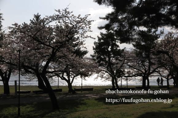 桜は、美しく咲き誇っています&昨夜の鴨鍋御膳_c0326245_10522227.jpg