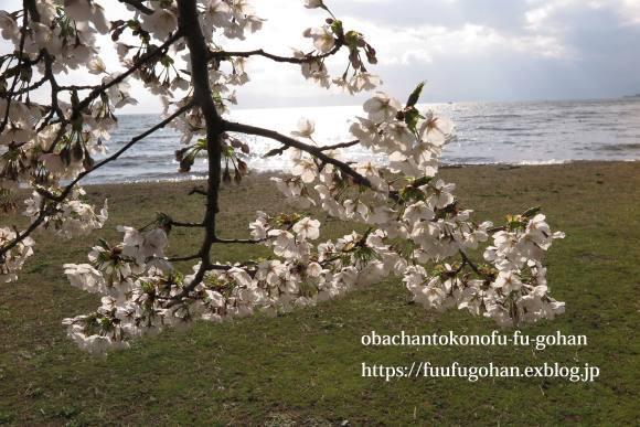 桜は、美しく咲き誇っています&昨夜の鴨鍋御膳_c0326245_10523480.jpg