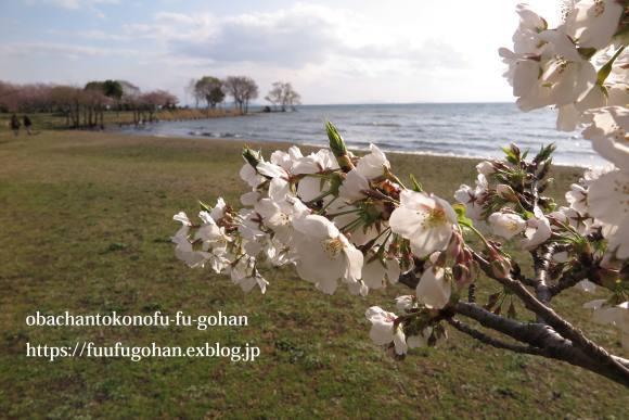 桜は、美しく咲き誇っています&昨夜の鴨鍋御膳_c0326245_10524828.jpg