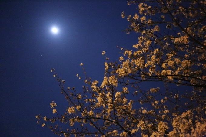夜桜_c0342646_09554925.jpg