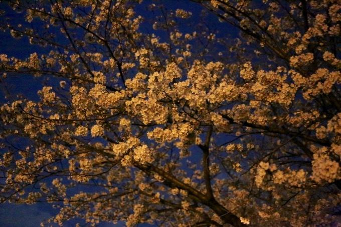 夜桜_c0342646_09591474.jpg