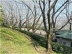 三島サクラだより 上岩崎公園他_c0087349_20210056.jpg
