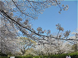 三島サクラだより 上岩崎公園他_c0087349_20210588.jpg