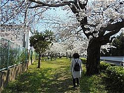 三島サクラだより 上岩崎公園他_c0087349_20211370.jpg