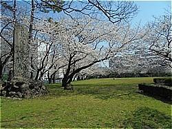 三島サクラだより 上岩崎公園他_c0087349_20211967.jpg