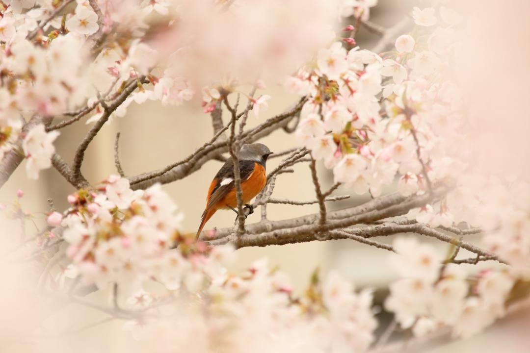 桜 2020_e0403850_19112612.jpg