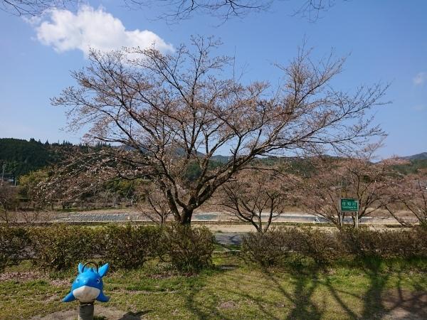 付知川河川敷桜情報🌸_e0020051_10301321.jpg