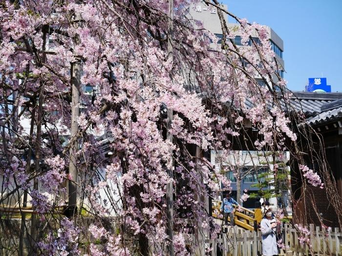 和歌山城公園も花見の宴会禁止  2020-04-07 00:00   _b0093754_23173347.jpg