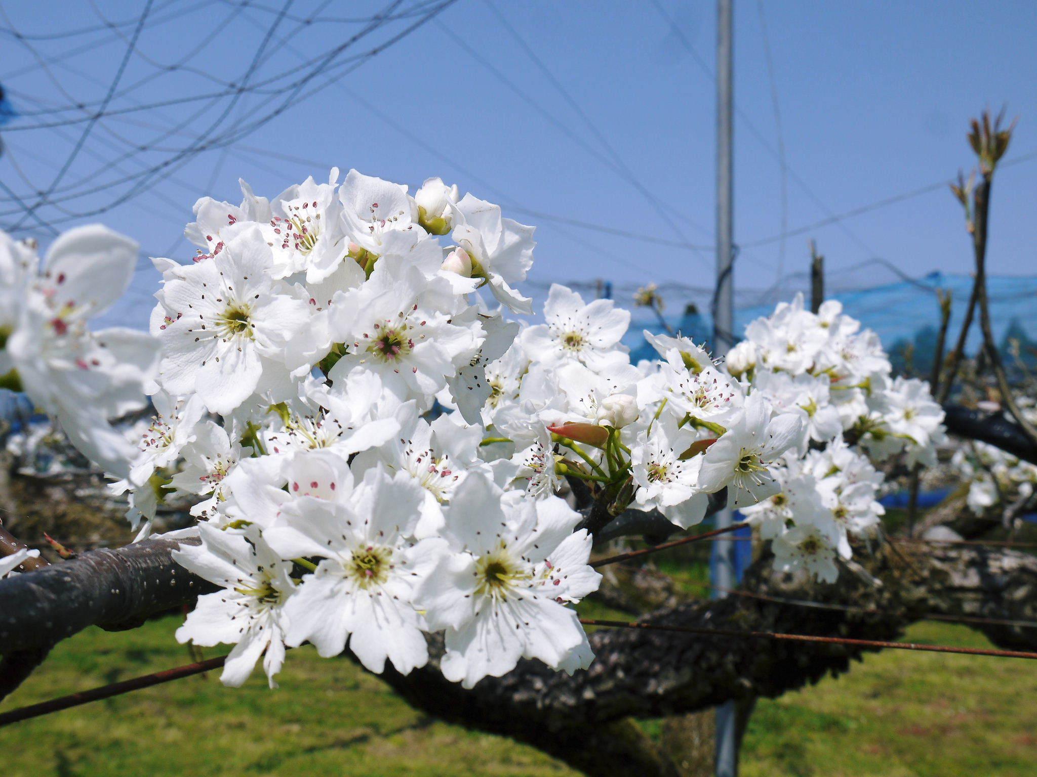 熊本梨 岩永農園 気温の上昇と共に、まずは最後に収穫する新高の花が咲き誇っていました_a0254656_18533702.jpg