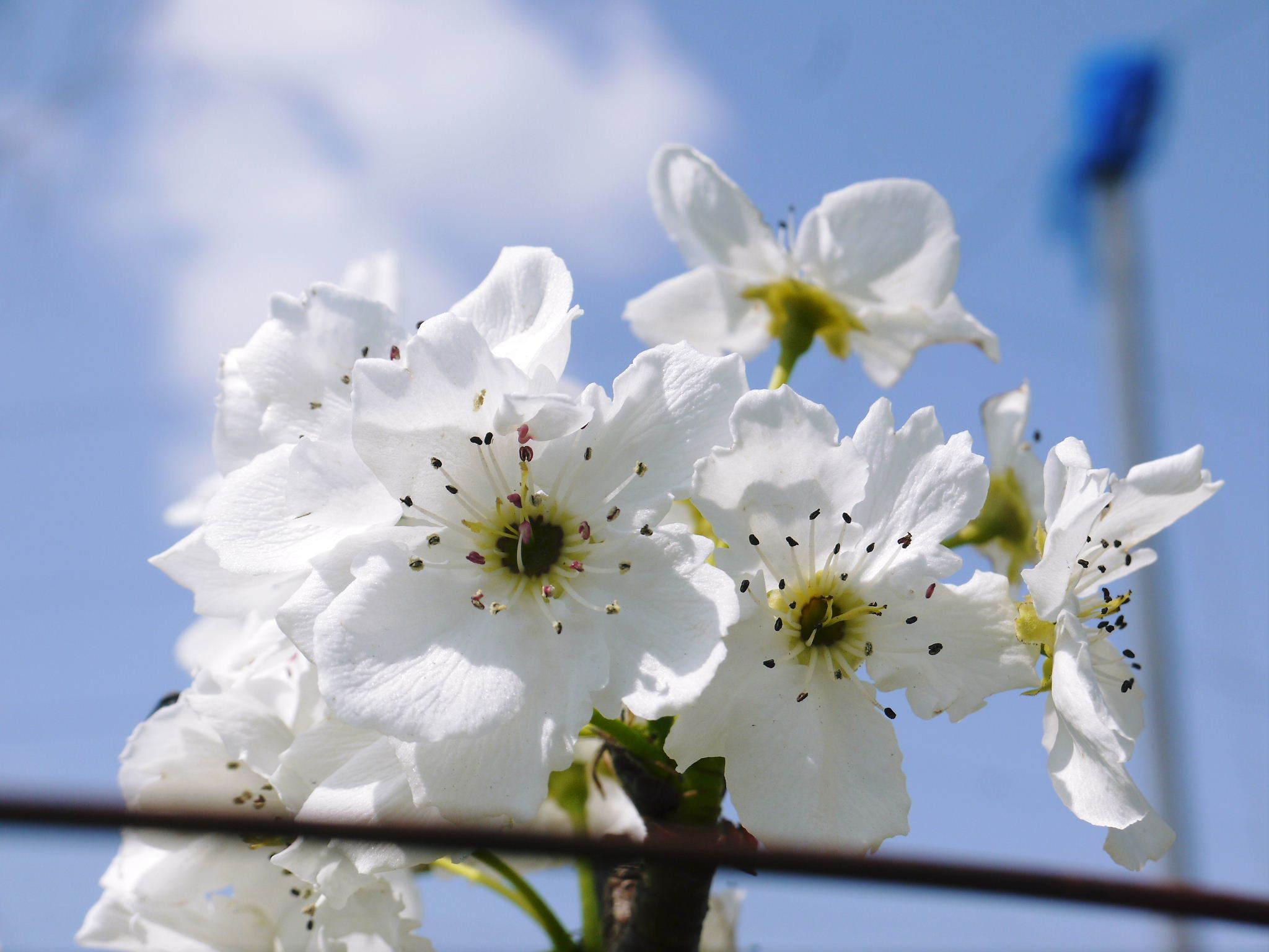熊本梨 岩永農園 気温の上昇と共に、まずは最後に収穫する新高の花が咲き誇っていました_a0254656_18542647.jpg