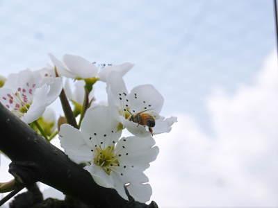 熊本梨 岩永農園 気温の上昇と共に、まずは最後に収穫する新高の花が咲き誇っていました_a0254656_19031368.jpg