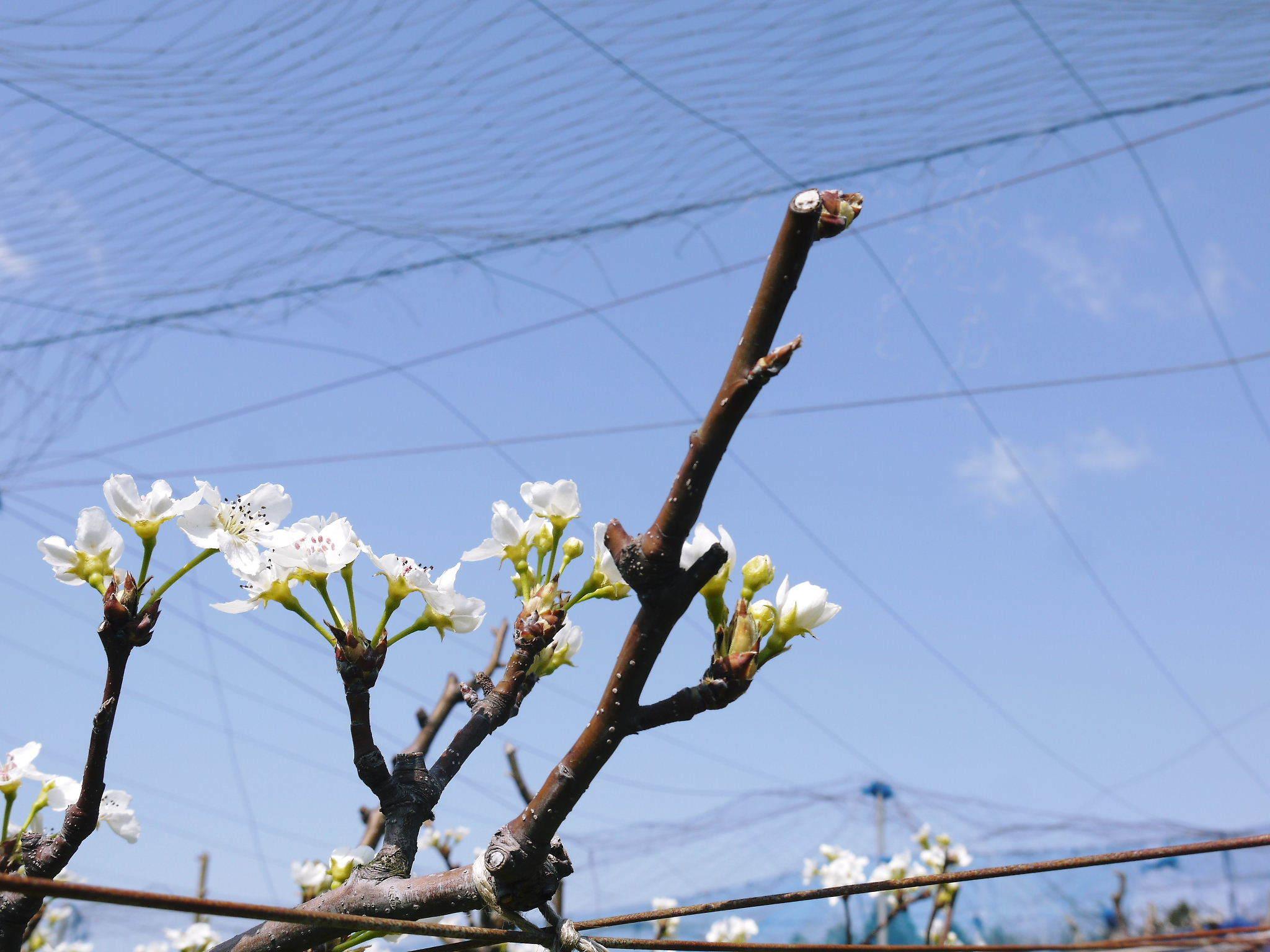 熊本梨 岩永農園 気温の上昇と共に、まずは最後に収穫する新高の花が咲き誇っていました_a0254656_19034766.jpg
