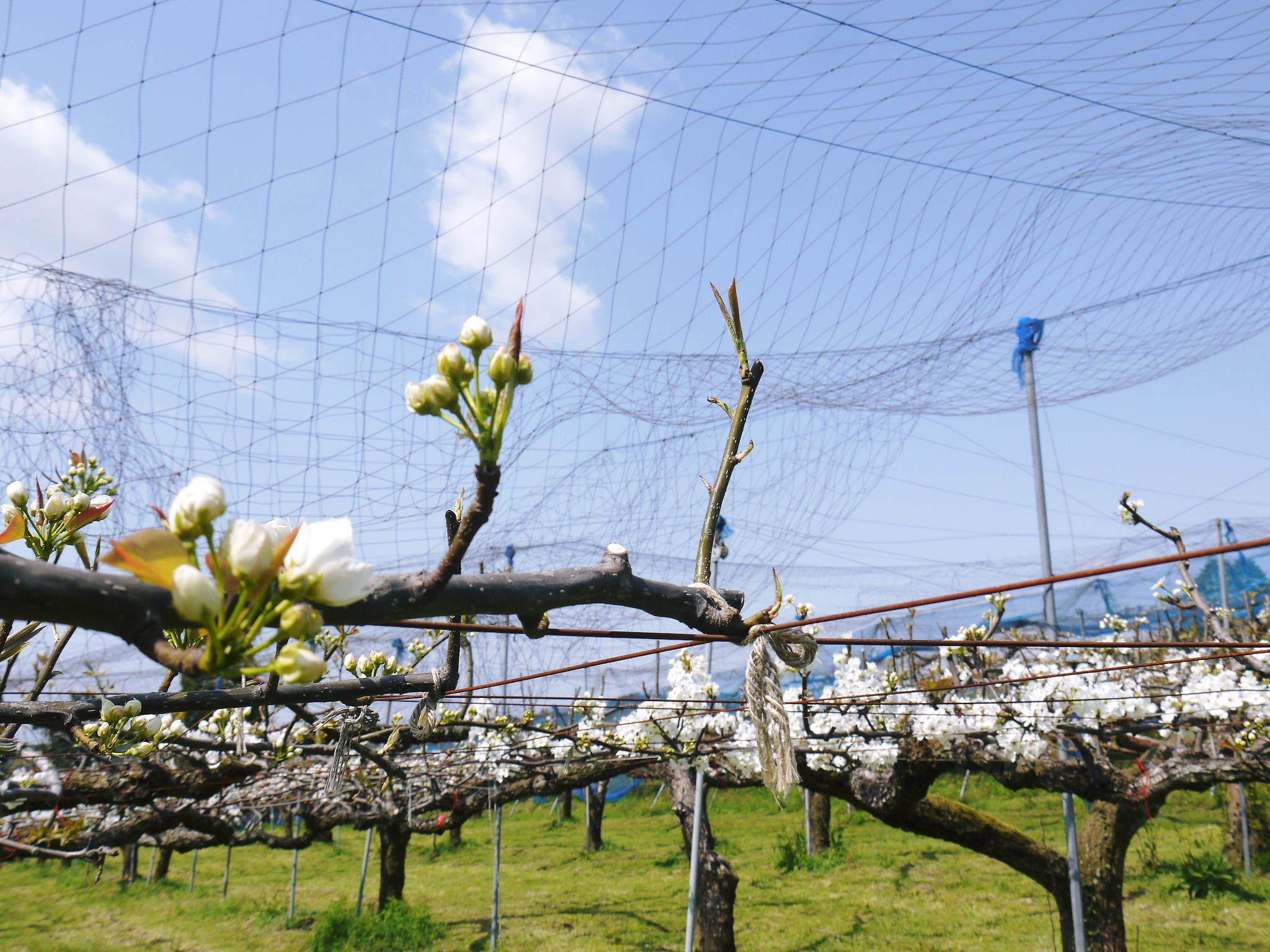 熊本梨 岩永農園 気温の上昇と共に、まずは最後に収穫する新高の花が咲き誇っていました_a0254656_19044760.jpg