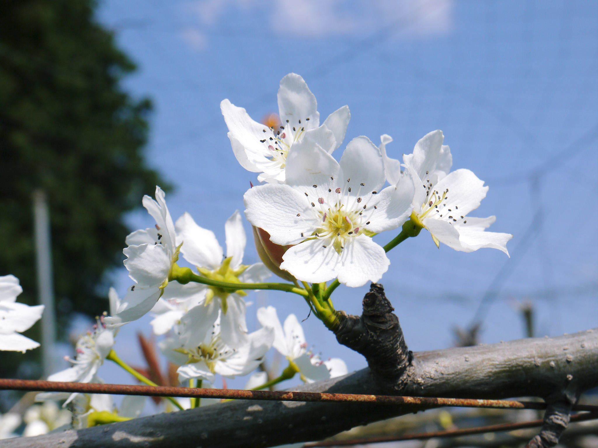 熊本梨 岩永農園 気温の上昇と共に、まずは最後に収穫する新高の花が咲き誇っていました_a0254656_19113774.jpg
