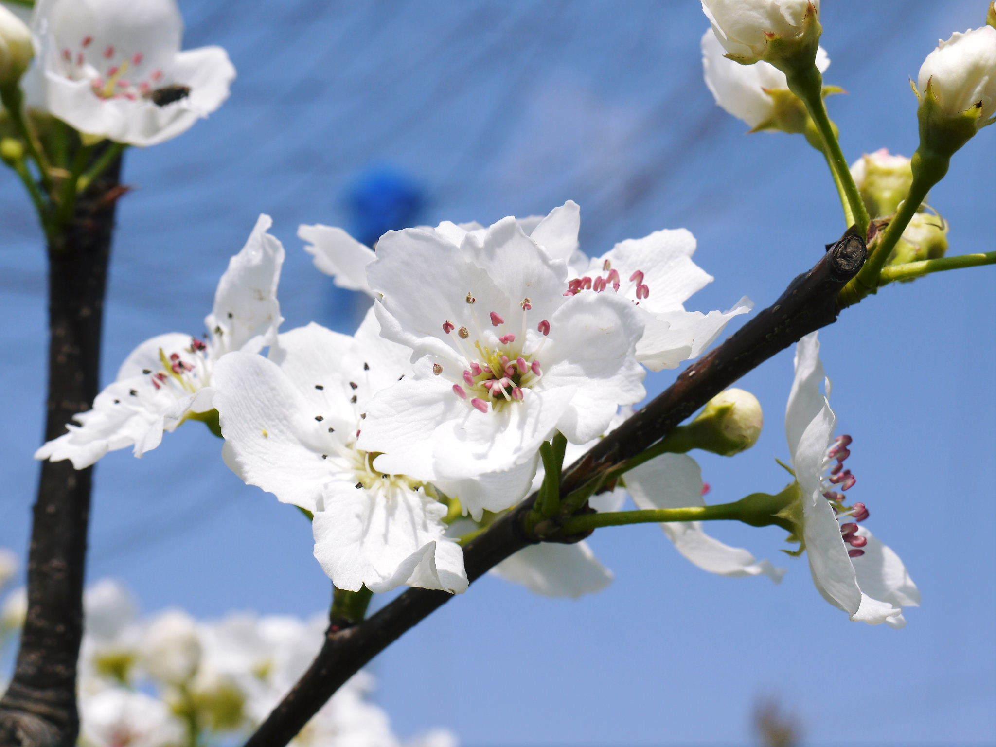 熊本梨 岩永農園 気温の上昇と共に、まずは最後に収穫する新高の花が咲き誇っていました_a0254656_19121132.jpg