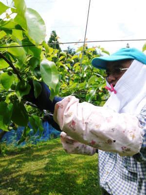 熊本梨 岩永農園 気温の上昇と共に、まずは最後に収穫する新高の花が咲き誇っていました_a0254656_19153912.jpg