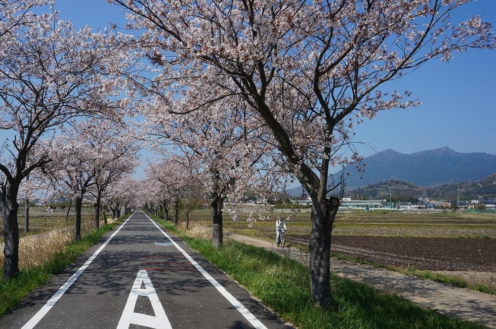 りんりんロードの桜_b0124462_13445949.jpg