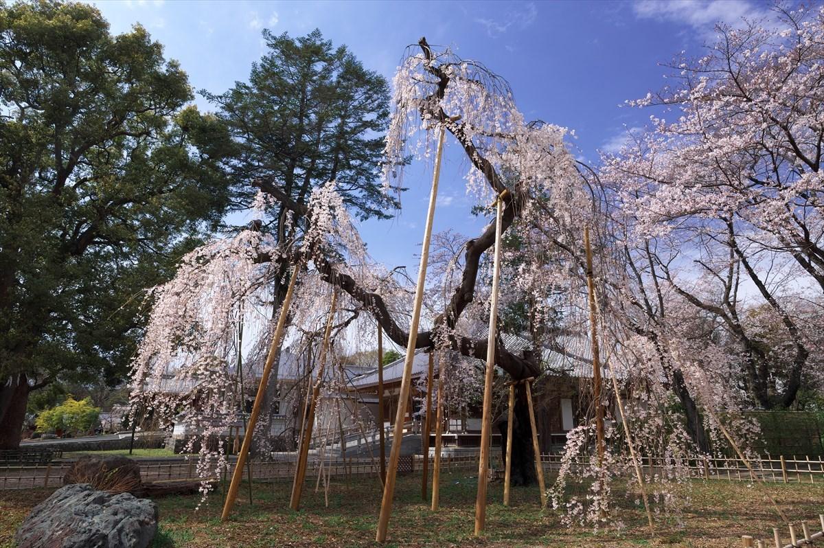 伏姫桜 2020_f0018464_08230830.jpg