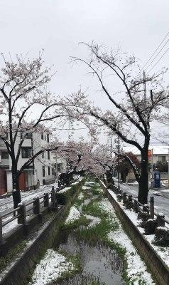 桜+積雪_d0021969_11412175.jpg